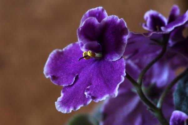 africká fialka, rostliny v bytě, zdraví