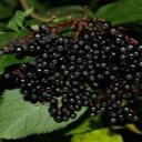 Bez černý - všestranná bylinka k zevnímu i vnitřnímu použití