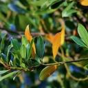 Bobkový list - úžasná  bylinka do interiéru, balkónu i zahrady
