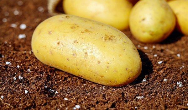 brambory, zdraví, příprava brambor, solanin, škroby