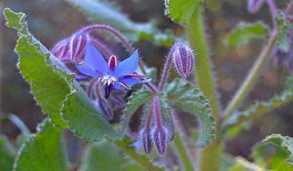 brutnák, bylinky, zdraví, lidové léčitelství, přírodní medicína