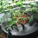 Jak na hydroponické pěstování rostlin?