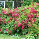 Jak na růže v zahradě?