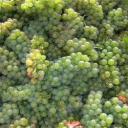Odrůda hroznů - Sauvignon Blanc