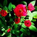 Jak pěstovat mini růže?