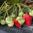 Jak vypěstovat větší a chutnější úrodu jahod?