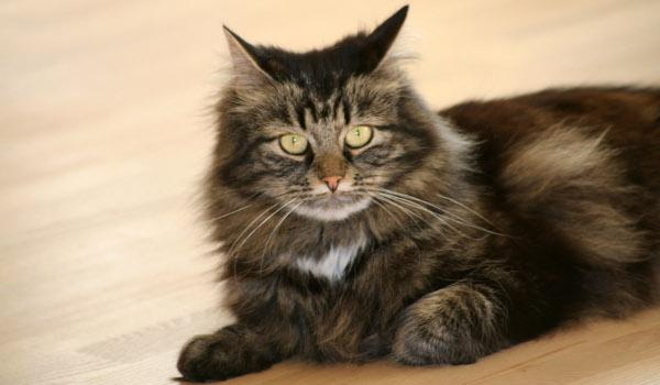 Jak odstranit kočičí zápach z dřevěné podlahy?