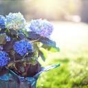 Jak pěstovat hortenzie v nádobách?