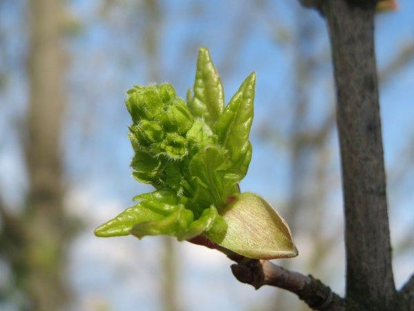 javor polní, saláty, živý plot, stromy