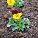 Květiny a zelenina spolu - krása a užitek