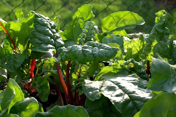 zelenina, mangold