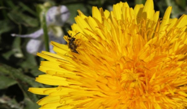 bylinky, přírodní prostředky, přírodní medicína, pampeliška