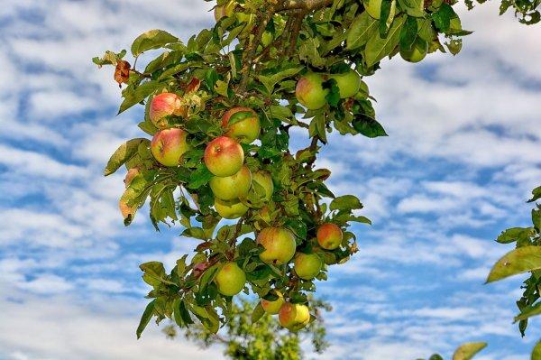 zahrada, občanský zákoník, ovoce, větve, sousedské vztahy