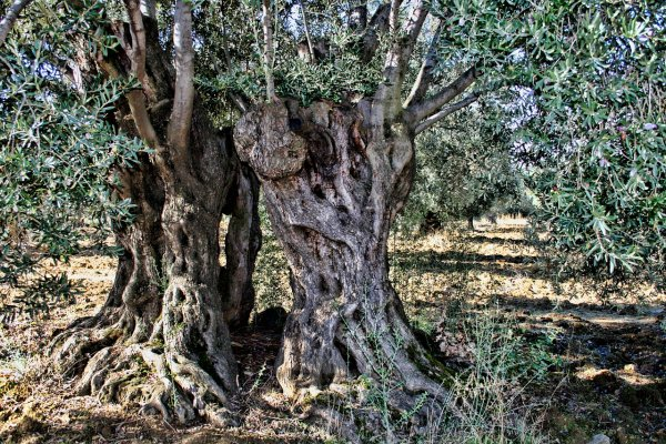 olivovník, bydlení, terasa, zahrada