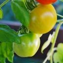 Pěstování vitaminů na balkóně a na parapetu
