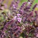 Pět rostlin, které ochrání vaše letní posezení před komáry