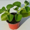 Pokojová rostlina, která nahradí šalvěj a kapky do nosu - Rýmovník eukalyptový