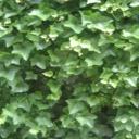 Popínavé rostliny v interiéru
