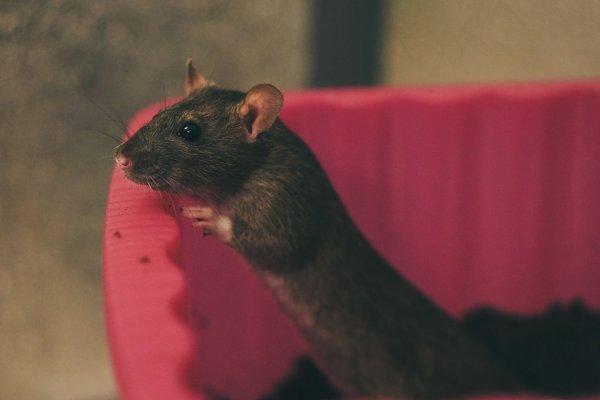 potkan, chovatelství, láska