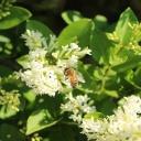 Přírodní antibiotikum od včel - propolis