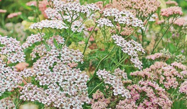 řebříček, bylinky, zdraví, přírodní lékárna