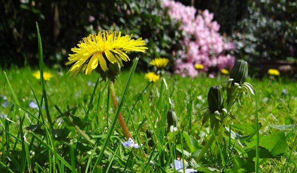 zdraví, pampeliška, saláty z pampelišky, posílení imunity, bylinky