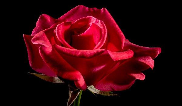 růže, recepty, džem, růžová voda, krása, kosmetika