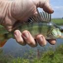 Ryby jsou zdravé, ale pozor na ty z kontaminovaných vod!