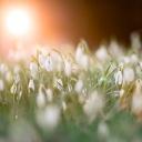 Sněženky hlásí příchod jara, ale jejich trhání je pod pokutou!