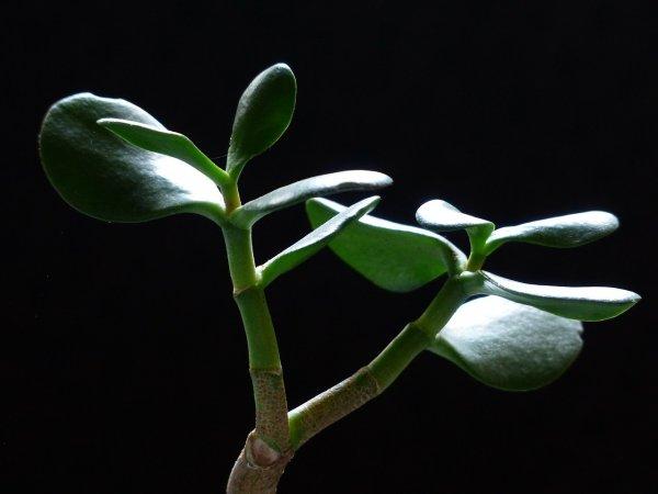 pokojové rostliny, tlustice, Feng Shui, peníze, štěstí