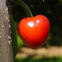 Třešně snižují hladinu cholesterolu a pomáhají s hubnutím