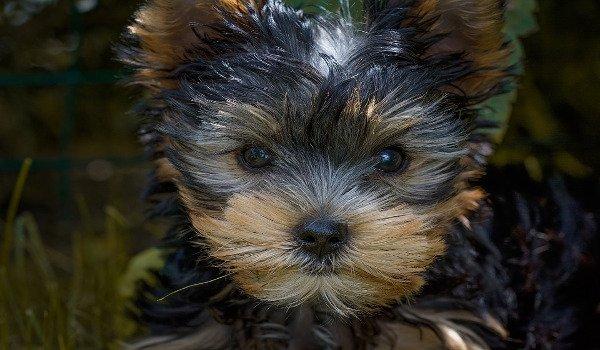 psi, zdraví psů, krmivo pro psy, nebezpečné potraviny pro psy