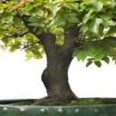 Zdraví, krása, umění - bonsaj